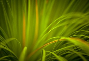 Detail of grass tree foliage