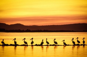 Wall of pelicans on the Clarence River at Iluka, Northern NSW.
