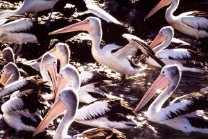 Pelicans waiteing fro scraps from the trawler fleet, Iluka NSW
