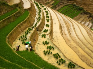 Farm workers planting rice on the terraces of the hills near Sapa in Northern Vietnam.
