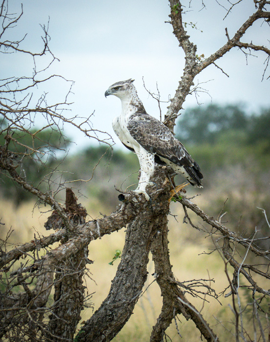 This ayers hawk eagle was hunting just fifty meters from where we were parked. It was concentrating on movement in the grass beneath it. A fowl was screeching to warn off the prey. It worked and after many minutes the eagle gave up and flew away. Kruger National Park, South Africa.