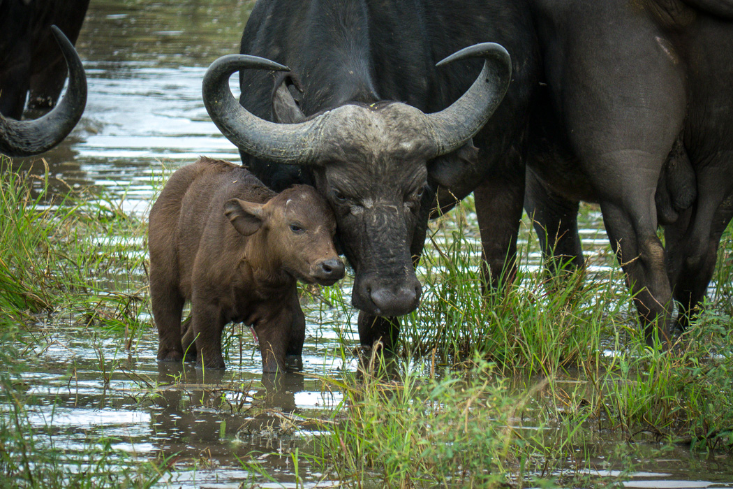 Cape buffalo and her calf. Kruger National Park, South Africa.