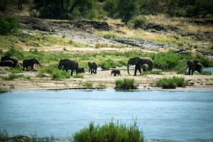 Procession of elephants on the bank of a river in Kruger National Park, South Africa.