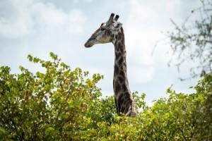 Snorkel giraffe - Kruger National Park, South Africa