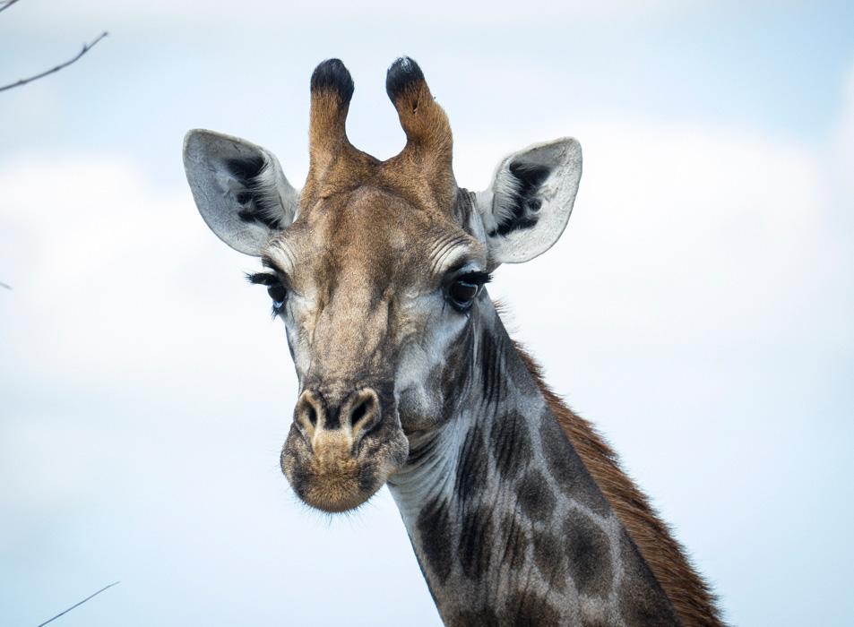 Curious giraffe - Kruger National Park, South Africa