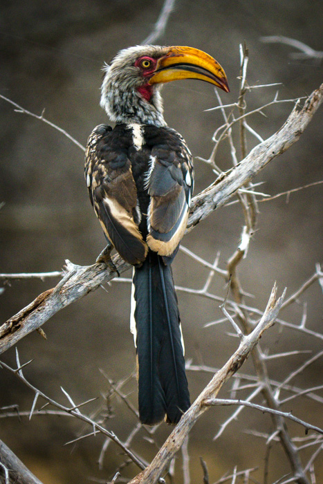 Southern Yellow-billed Hornbill - Kruger National Park, South Africa