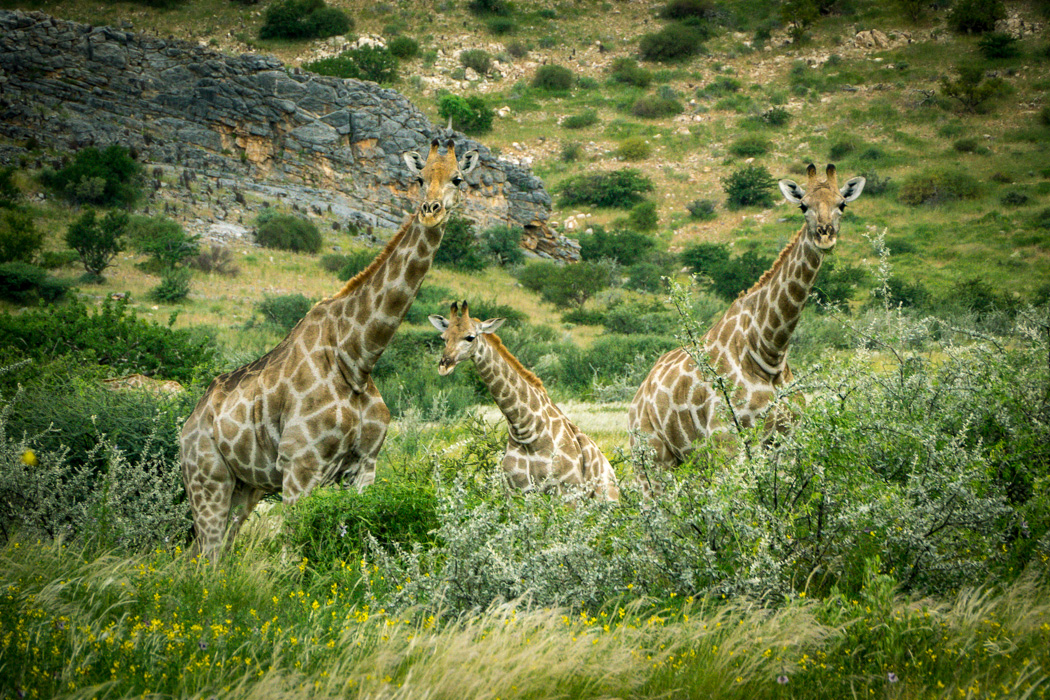 Three giraffe watch from the cover of lush grasslands at the North-Eastern fringe of the Namib desert in Namibia. It is rare for the desert to be this green. Namibia is one of the driest countries on earth.