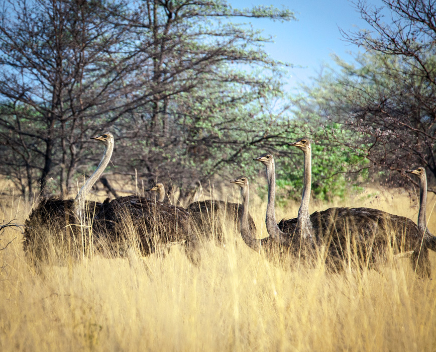 A pride of ostriches in Northern Namibia, close to the Angolan border. It is unusual to see ostriches in groups bigger than pairs so this was a rare and beautiful sight. They usually group like this when water is scarce.