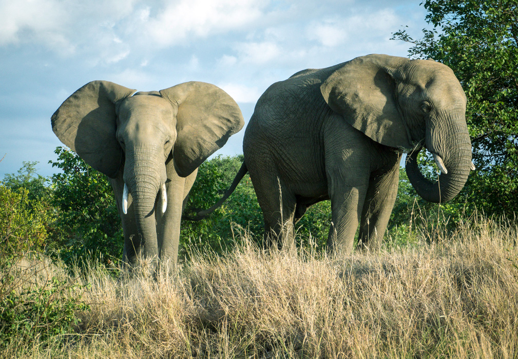 Elephants. Kruger National Park, South Africa.