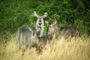 Waterbuck family - Kruger National Park, South Africa