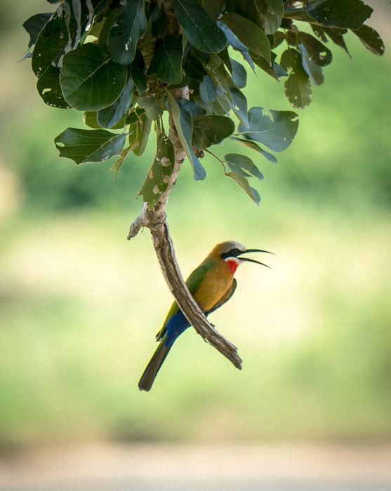 White fronted bee eater on a low hanging branch - Kruger National Park, South Africa