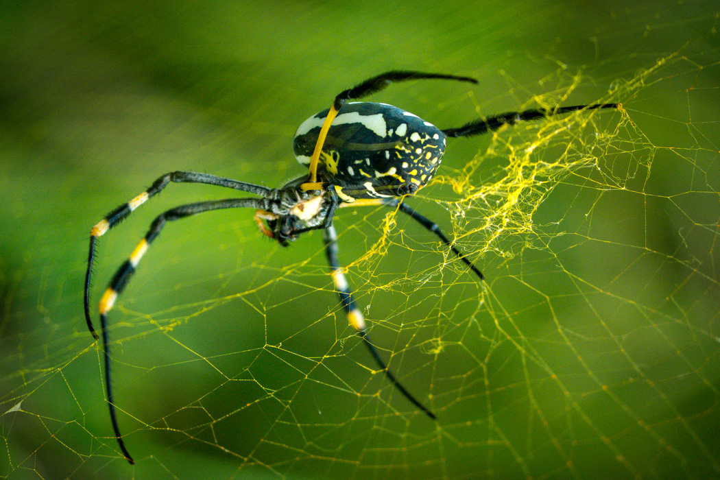 I had never seen a yellow spider's web before, let alone one so fluorescent. This turns out to be a South African banded-legged golden orb-web spider (Yes, I had to look that up). It is big, about 9-10cm from toe to toe. This is the coolest spider I have ever seen - Kruger National Park, South Africa.