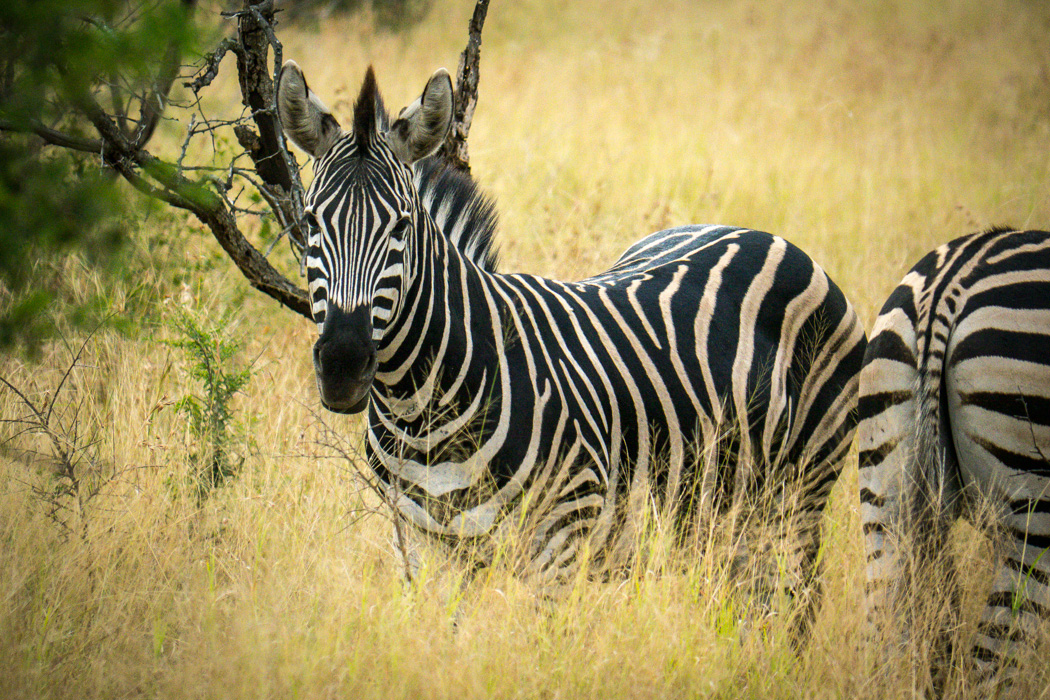 One of my personal favourite animal styles! In long grass of the right type they really do disappear. In other places they might as well be bright pink. And that mohawk . . . . . . Zebras really do look spectacular in he wild.